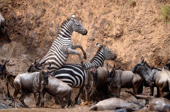 Великая Миграция : Сафари (3 н.) + Найроби (1 ночь)+ пляжный отдых в Момбаса 4 ночи ( авиа включено), 116