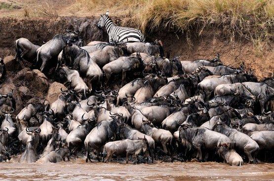 Великая Миграция : Сафари (3 н.) + Найроби (1 ночь)+ пляжный отдых в Момбаса 4 ночи ( авиа включено), 120