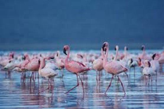 Кения Сафари (5 дн) : Масаи Мара- Озеро Накуру - Амбосели, 115