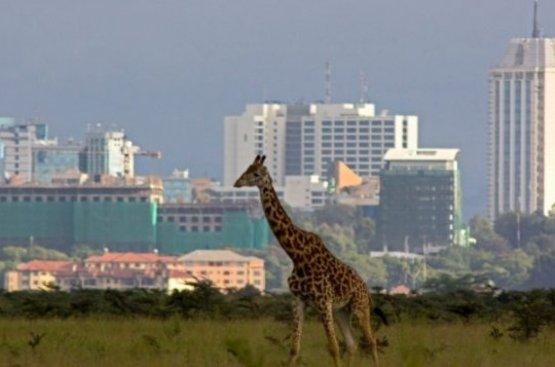 Кения Сафари (8 дн) : Найроби, Самбуру, Заповедник Ол Педжета, Озеро Накуру, Масаи Мара, 87
