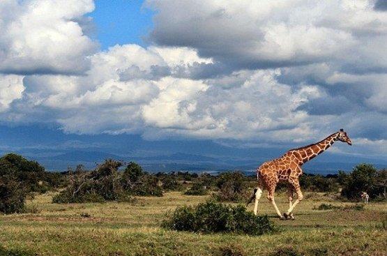 Кения Сафари (8 дн) : Найроби, Самбуру, Заповедник Ол Педжета, Озеро Накуру, Масаи Мара, 94