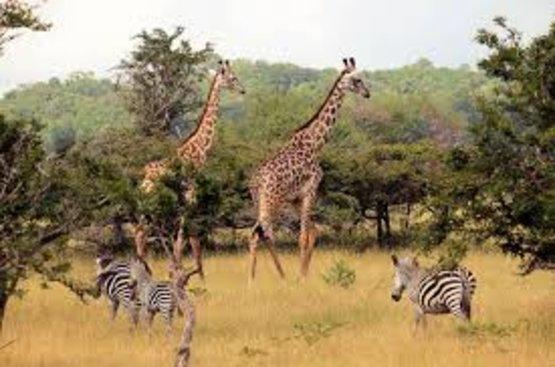 Танзания: Занзибар 7 ночей  + Сафари Селус Парк 3 ночи , 93